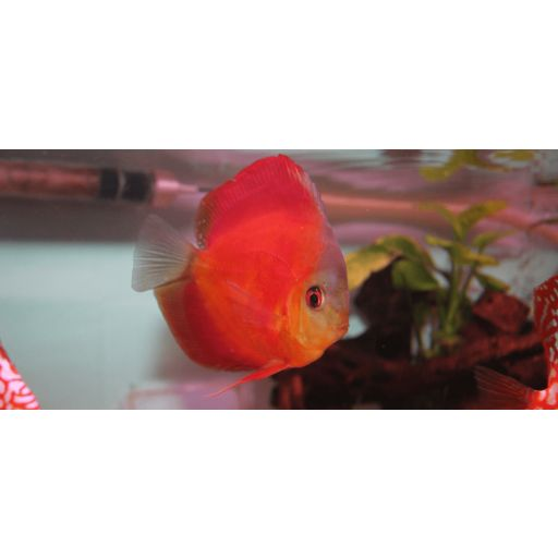 Disco Rojo Rose 5-6cm