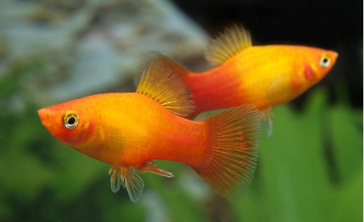 Platy Coral Sunset 3-3,5cm