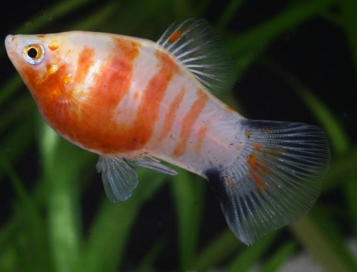 Platy Coral Zebra Rojo Macho 3,5 Cm [0]