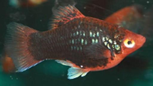 Platy Coral Red Dark 3 -3,5 Cm