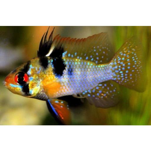 Ramirezi - Microgeophagus Ramirezi 4-4,5cm