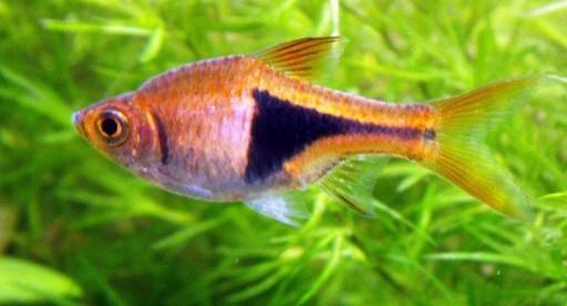 Rasbora Heteromorpha - Pez Arlequin 2.5cm