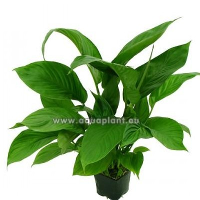Spathiphyllum verde