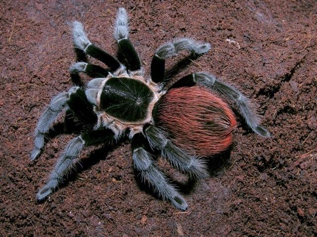 Tarantula Vagans 1-1.5 cm  Branchypelma Vagans
