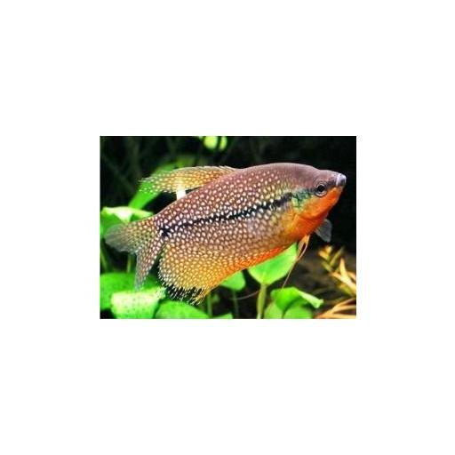 Gourami Perla - Trichogaster Leeri 4-5cm [1]