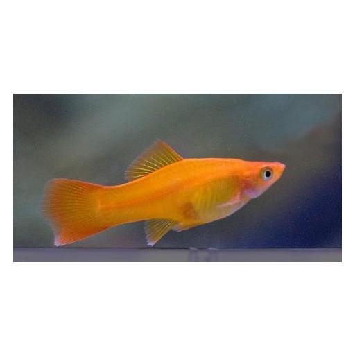 Xiphophorus helleri Rojo Hembra  4-5cm