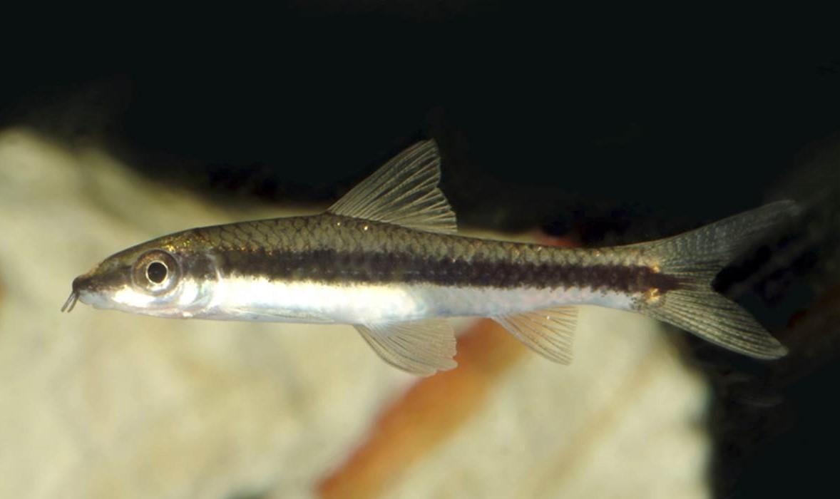 Zorro Come Algas C.Siamensis 2-cm