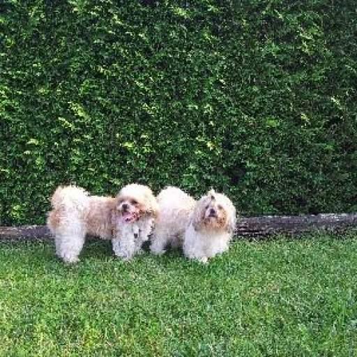 Guardería canina perros pequeños. Cuidadora de perros en Gijón