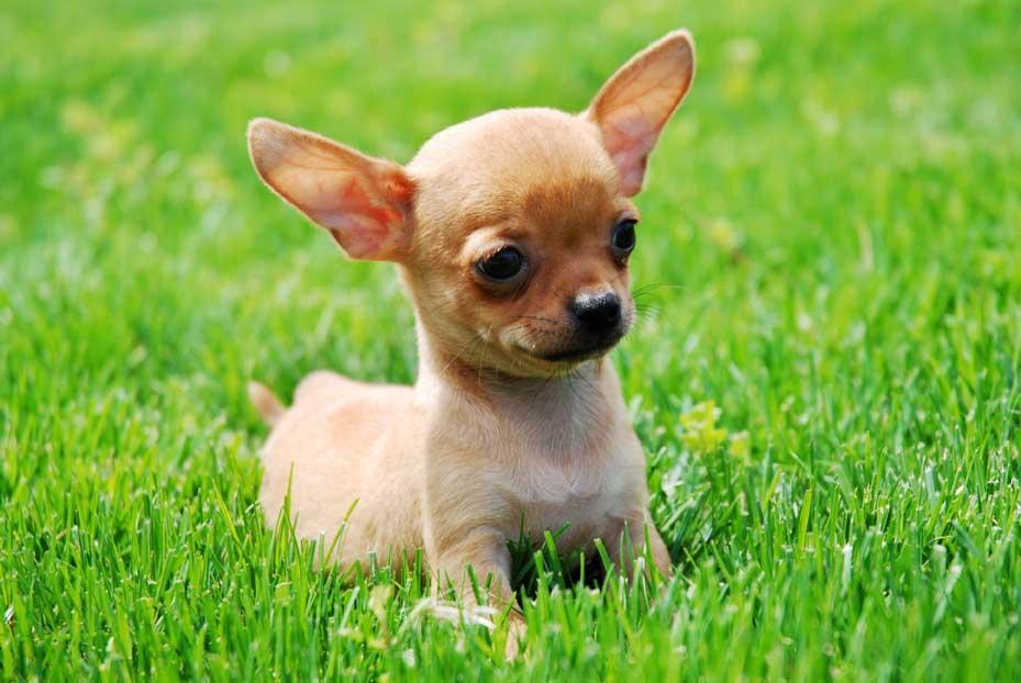 Guarderia canina perros mini. Cuidadora de perros en Gijón