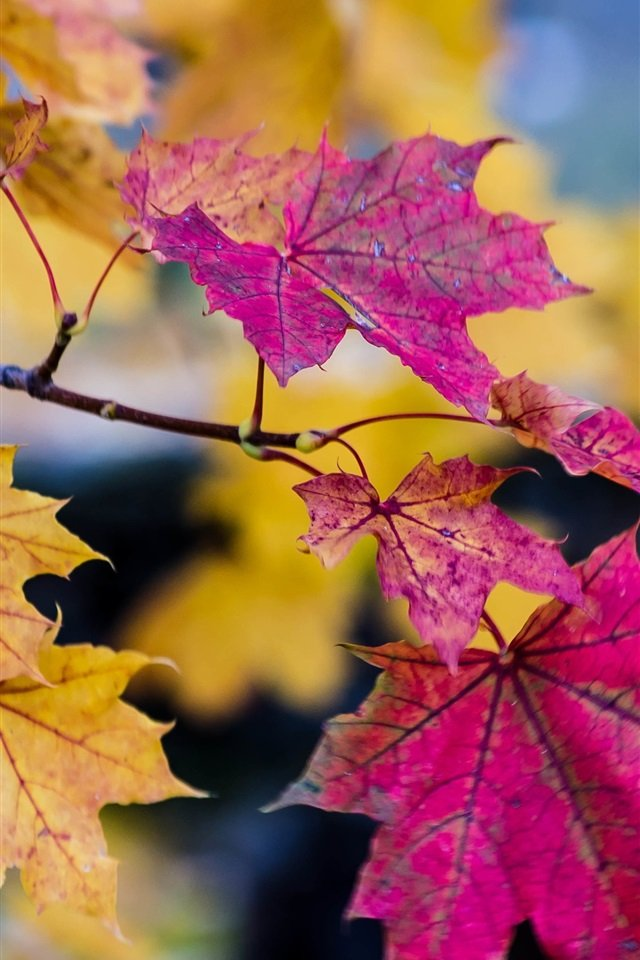 Autumn-purple-and-yellow-maple-leaves_iphone_640x960.jpg