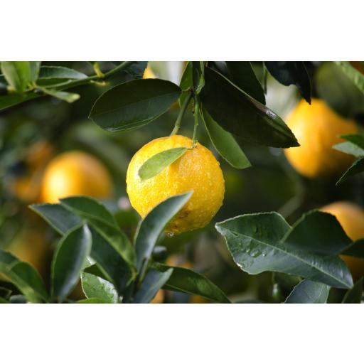 Aceite Esencial de Limón [1]